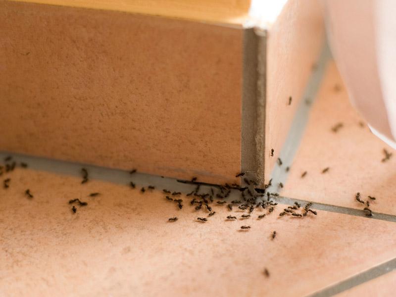 Ինչպես արագ ազատվել տան մրջյուններից